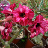 BELLFARM 2-layer Dark Red Adenium, 2 Seeds, big blooming petals with black hole desert rose E3976
