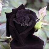 BELLFARM Maroon Super Black Rose Shrub Flower Seeds, 50 seeds, professional pack, light fragrant home cut flowers BD382H