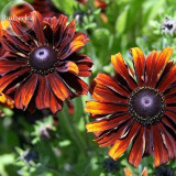 Heirloom Orange Black Echinacea PurpureaSeeds Coneflowers, 100 Seeds, perennial flower Seeds E3825