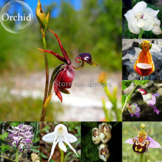 Rare Mixed Flying Duck Orchid Bonsai Perennial Flowers, 100 Seeds, attractive butterfly light up your garden E3630