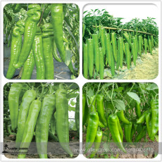 Heirloom Light Green Long 'Sheep Horn' Sweet Pepper Vegetable F1 Seeds 20+ E3465