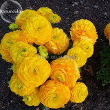 Rare Beautiful Yellow Ranunculus Asiaticus Persian Buttercup Flowers, 20 Seeds, light fragrant attract butterflies