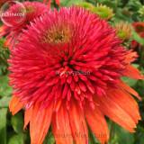 Double Scoop 'Orangeberry' Echinacea, 100 Seeds, rose red big blooms  long-blooming coneflowers TS253T