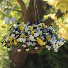 Heirloom Beautiful Hanging Bonsai Colorful Pansy, 20 seeds,  long flowering light up garden E3598