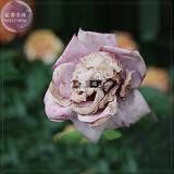 BELLFARM 'The Death' Rose seeds, 100 seeds, professional pack