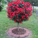 Heirloom Big Blooming Fresh Red Rose Tree for Landscape, 50 seeds, light fragrant flowers open pollinated E3941