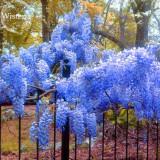 Heirloom Blue Yard Chinese Wisteria Climbing Plants, 5 seeds, purple floribunda wisteria vine  E3822