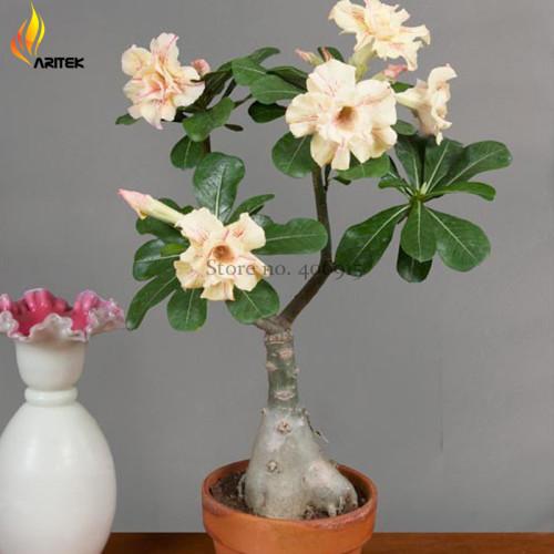 Us 1 59 Heirloom Ge Linhua Desert Rose Yellow Adenium Bonsai 2 Seeds Rare Bonsai Flowers E3533 M Deargogo Com