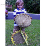 GIANT Titan Sunflowers 24 Inch Heads, 15 seeds, 15 - 18 Ft Tall / One of World's Largest TS238T
