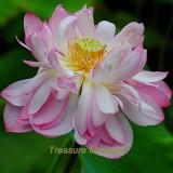 1 Professional Pack, 1 seeds / pack, Tassels Luxury Nelumbo Nucifera Lotus Flower Pond Plant Seed #NF324