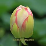 1 Professional Pack, 1 seeds / pack, White Nelumbo Nucifera Lotus Flower w/ Red Edge Hybrid Pond Plant Seed #NF325