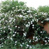 Heirloom Single Petalled White Climbing Rose Flower, 50 Seeds, strong fragrant garden climbing flowers E3938