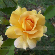 1 Professional Pack, 50 seeds / pack, New Yellow Rose Bush Perennial Flower Seeds #A00208