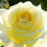 BELLFARM Rose Bright Light Yellow Big Blooms Flower Seeds, 50 Seeds, flower diameter 13cm light fragrant E4264