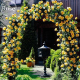 Heirloom Big Blooming Yellow Turbine-like Climbing Rose, 50 seeds, easy to grow E3945