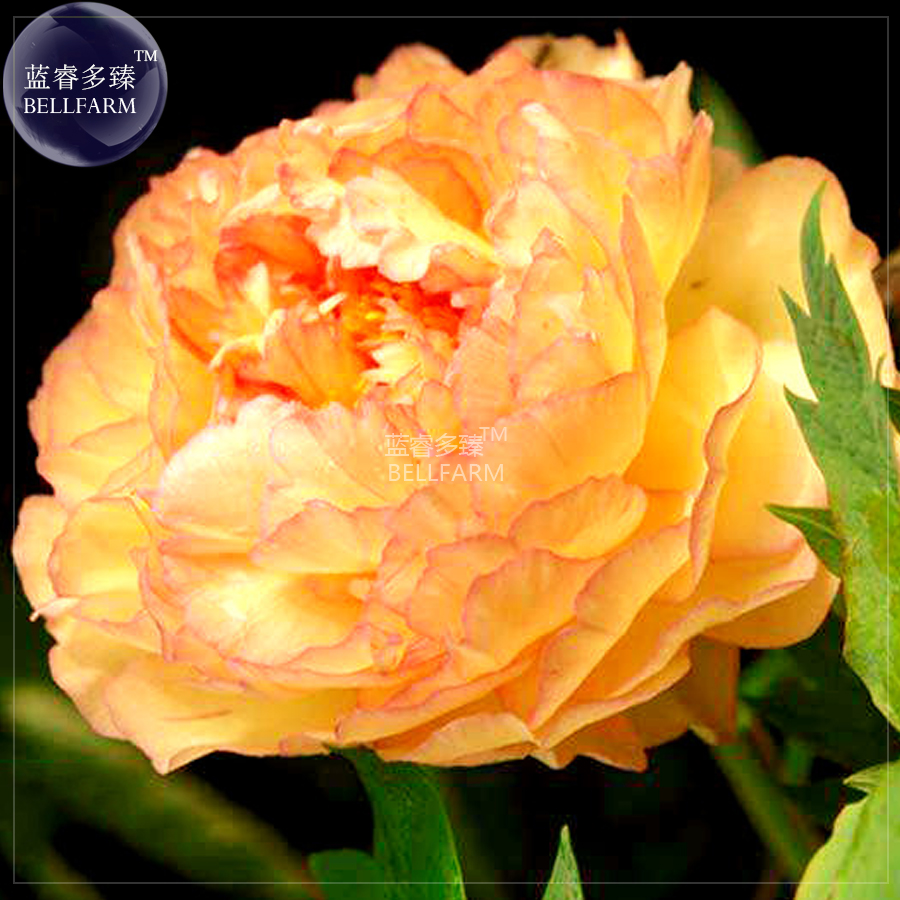 Us 1 Bellfarm Golden Yellow Peony Tree Flower Seeds Professional