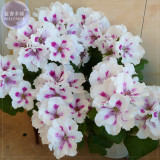 BELLFARM Geranium Purely White Petals Purple Spot Flower Seeds, Professional Pack, 10 Seeds, perennial bonsai big blooms E4218