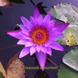 1 Professional Pack, 1 seeds / pack, Dark Purple Water Lily Hybrid Pond Plant Lotus Seed #NF323