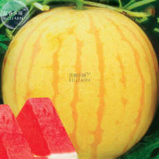 BELLFARM Heirloom Yellow Skin Red Seedless Watermelon Seeds, Professional Pack,  13% Sugar Sweet Juicy E3412