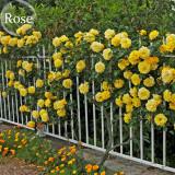 Yellow Short Climbing Rose, 50 Seeds, 40-50cm tall climbing plants E3940