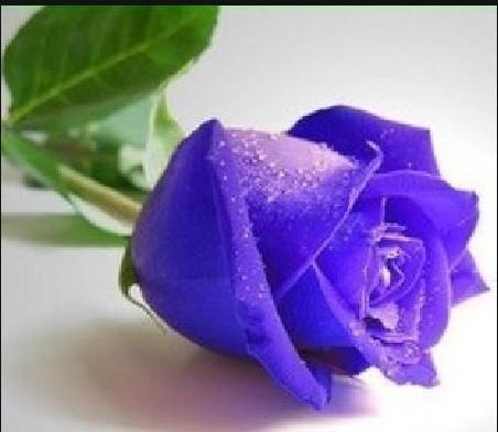 Royale Rose Flower Seeds 100PCS//PACK purple Rose Seed American Brand Pack JY092