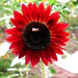 1 Original Pack, 6 Seeds / Pack, Light Red Sunflower Ornamental Garden Flower Seed #NF378