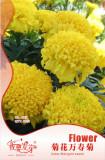 10 Original Packs, 35 seeds / pack, Jumbo Yellow Crackerjack Marigold Seeds