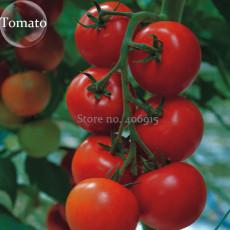 Solanum lycopersicum L. Tomato 'Shirley' F1 Hybrid, 100 seeds, tasty early maturing tomato E3867