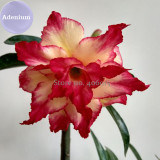BELLFARM 4-layer Red Yellow Adenium, 2 Seeds, red outer edge with yellow interior on one petal E3977