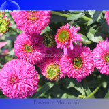 Imported 'Piccolino Bear' Echinacea, 100 Seeds, pink color big blooms very interesting TS256T