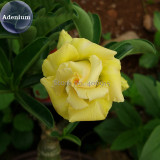 Heirloom Rose Shaped Adenium Yellow Desert Rose, 2 Seeds, yellow petals with orange heart E3975