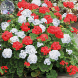 BELLFARM Geranium 'St Gerorge' Seeds, Professional Pack, 10 Seeds, white rose red mixed pelargonium E4214