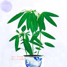 BELLFARM Codariocalyx Motorius Telegraph Plant Seeds, 6 seeds, original pack, ornamental semaphore plant bonsai