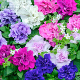 Mixed Double-petalled Hanging Petunia Hybrid Seeds, 200 seeds, professional pack, a must for hanging baskets E4098