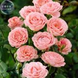 BELLFARM Rose Lovely Pale Pink Rose Flower Seeds, 50 Seeds, cut flowers diameter 8cm light fragrant E4265