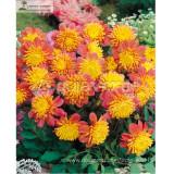 'Honey' Dahlia Pinnata Flower Seeds 20+ Garden Bonsai Compact Orange Flowers