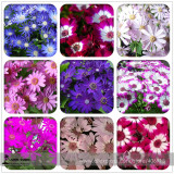 Mixed 9 Colors Florist's Cineraria Seeds 50+ Blue Red Pink Purple White Flowers 100% True Colors