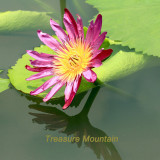 1 Professional Pack, 1 seeds / pack, AU Pink Water Lily Nymphaea Flower Seed #NF326