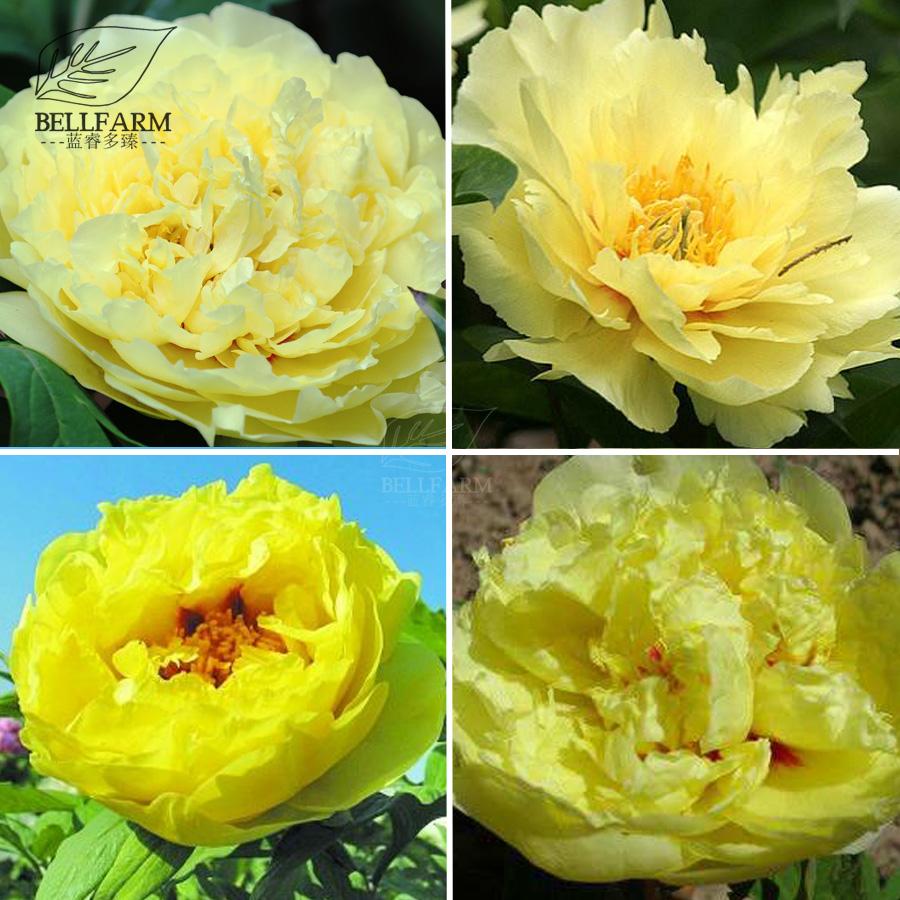 Us 1 Bellfarm Heirloom Peony Yellow Series 4 Types Flowers 5