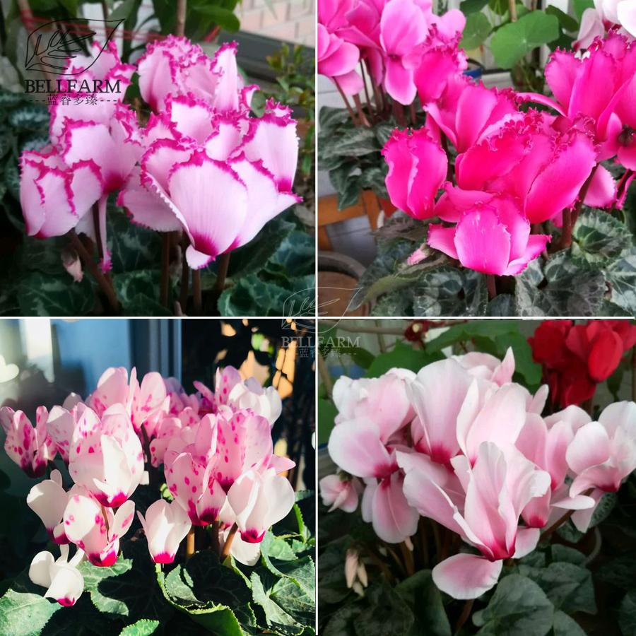 Us 1 bellfarm cyclamen mixed 4 colors pink light pink purple bi big blooms perennial flowers loading zoom mightylinksfo