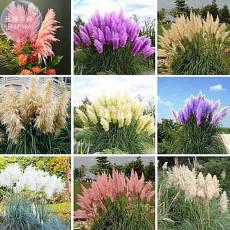 BELLFARM Impressive Coloful Pampas Grass Seeds, 200 seeds, ornamental home garden plants cortaderia selloana bonsai pot