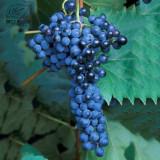 BELLFARM Frontenac Blue Grape Seeds 100PCS Hardy Plant Seedling Good Disease Resistance & Tolerance