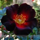 BELLFARM Santiago Black Red Rose Shrub Perennial Flowers 20 Seeds Pack Strong Fragrant Garden Flowers