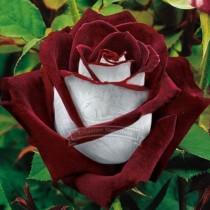 (Wholesales) 500g seeds / pack, BLUE STRIPE ROSE RARE ROSE ROSE BUSH BLUE WHITE DRAGON