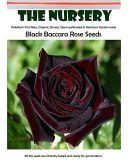 BELLFARM Black Baccara Rose Seeds, 50 PCS, Professional Pack, Fragrant Perennial Home Garden