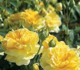 BELLFARM Heirloom Yellow Upright Fragrant Tea Rose Shrub Garden Flower Seeds
