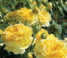 BELLFARM Heirloom Yellow Upright Fragrant Tea Rose Shrub Garden Flower Seeds