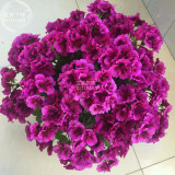 BELLFARM Geranium Dark Purple 'violet butterfly' Perennial Bonsai Flowers, 10pcsseeds/pack, big blooms compact flowers
