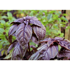 BELLFARM Purple Sweet Basil with Giant Leaves 100 Seeds Ocimun Basilicum Perillaseed Herb Salad Vegetables