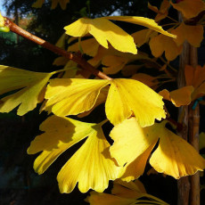 BELLFARM Maidenhair Fossil Tree Gingko Biloba 5 Seeds Green to Yellow Ornamental Leaves